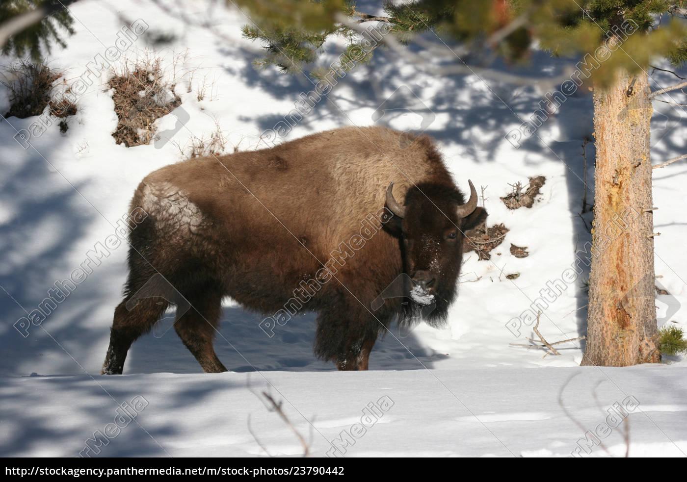 bison, im, winter - 23790442