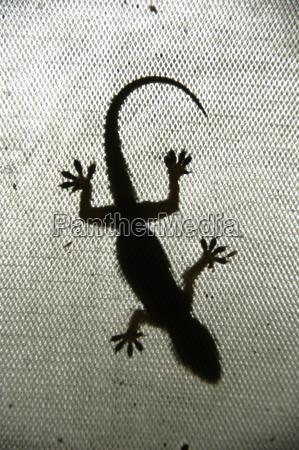 gecko als schatten rajasthan indien