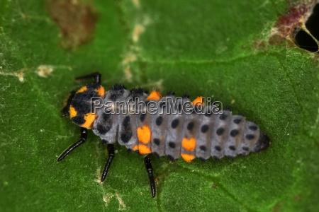 larve von einem marienkafer