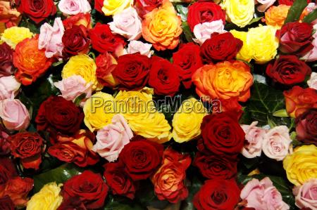 rosen rosenknospe rosenknospen