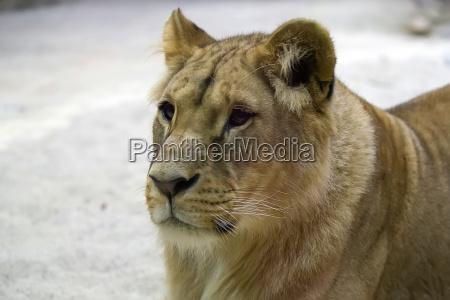 lioness a portrait