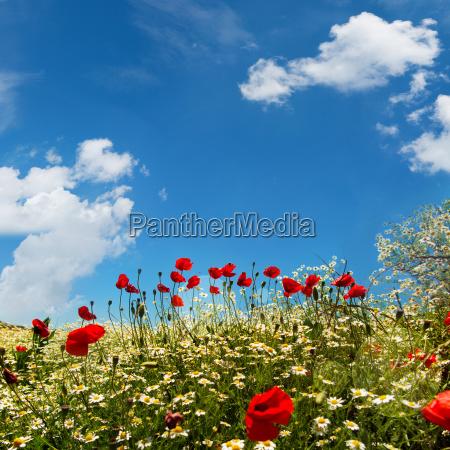 flower meadow with blue sky