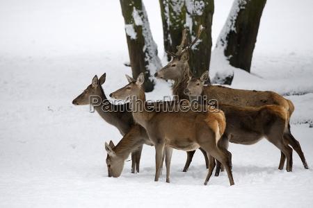 rothirsch mit familie in freier wildbahn