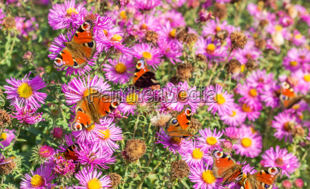 red autumn asters with many peacock