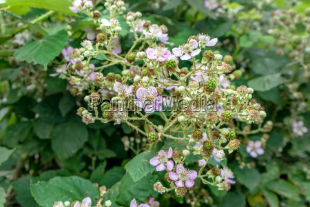 bush with pink blackberry blossoms and