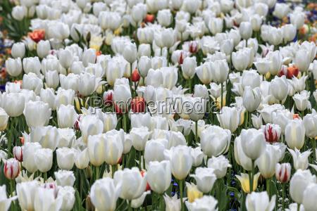 fruehlingswiese mit bluehenden weissen tulpen