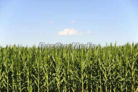 usa nebraska corn growing along route