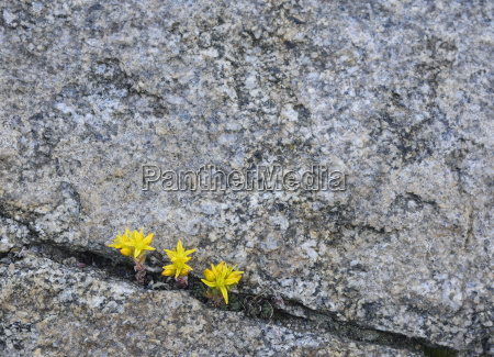 yellow wildflowers growing in rock crevice