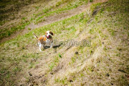 junger haustierhund zuechtet den spuerhund der