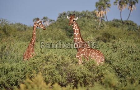 giraffen in kenis