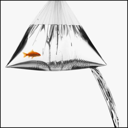 lecky beutel mit einem goldfisch darin