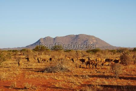 eine herde antilopen im tsavo ost