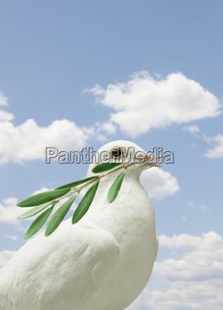 dove holding olive branch