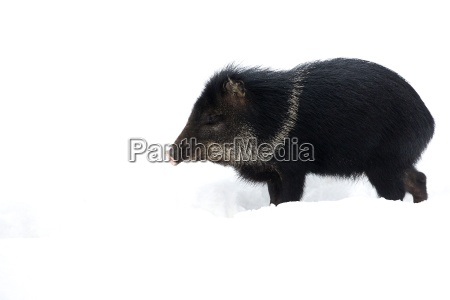 collared peccary in the snow