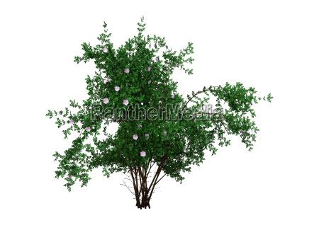 umwelt freisteller blume rose pflanze bluete