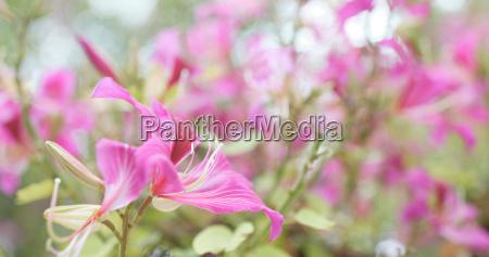 pink bauhinia flower in garden