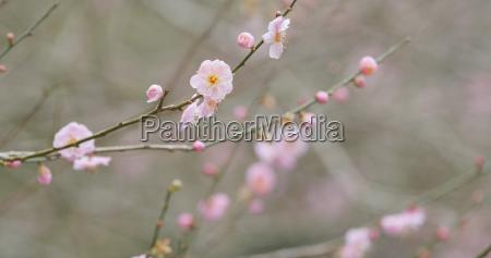 pink plum flower in forest