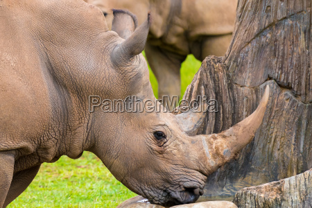 portrait of southern white rhino endangered