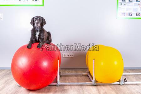 hund liegt auf aufblasbarem ball