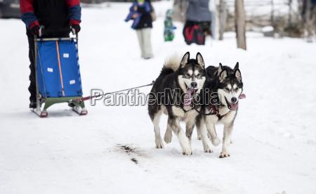 rodeln mit husky hunden in rumaenien