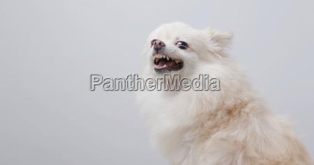 weisser pommerischer hund wird wuetend
