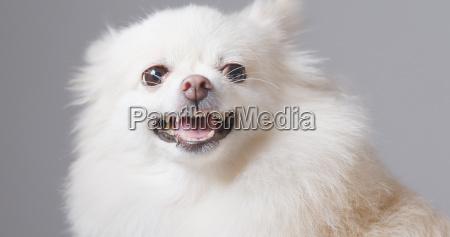 bellen pommerschen hund