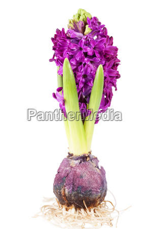 spring flower of hyacinth with bulb