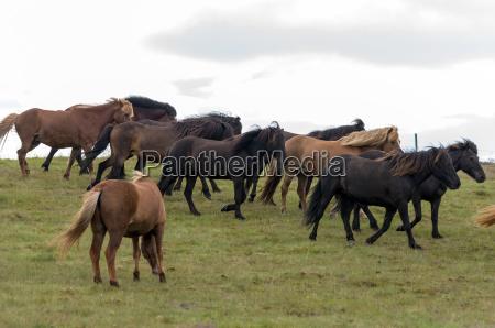 pferd ross tier pferde herde island