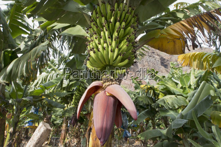 bananas growing and ripening on tree