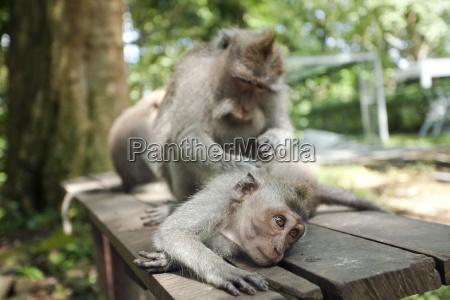 indonesia bali sacred monkey forest long