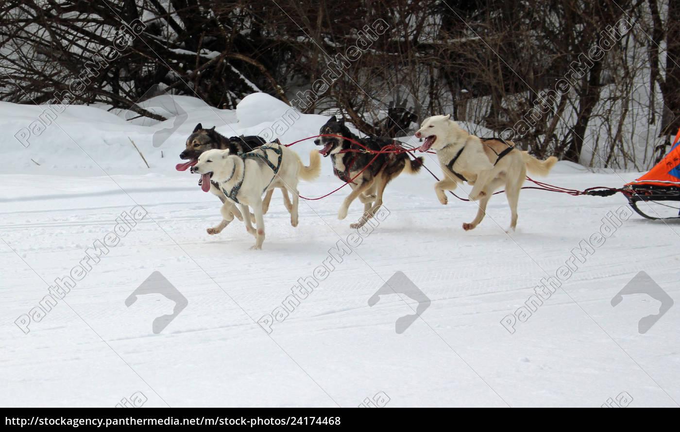 hund, , schlittenhunde, , husky, , polarhunde, , rennen, , schlittenhunderennen, - 24174468