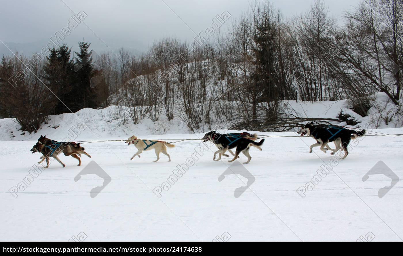 hund, , schlittenhunde, , husky, , polarhunde, , rennen, , schlittenhunderennen, - 24174638