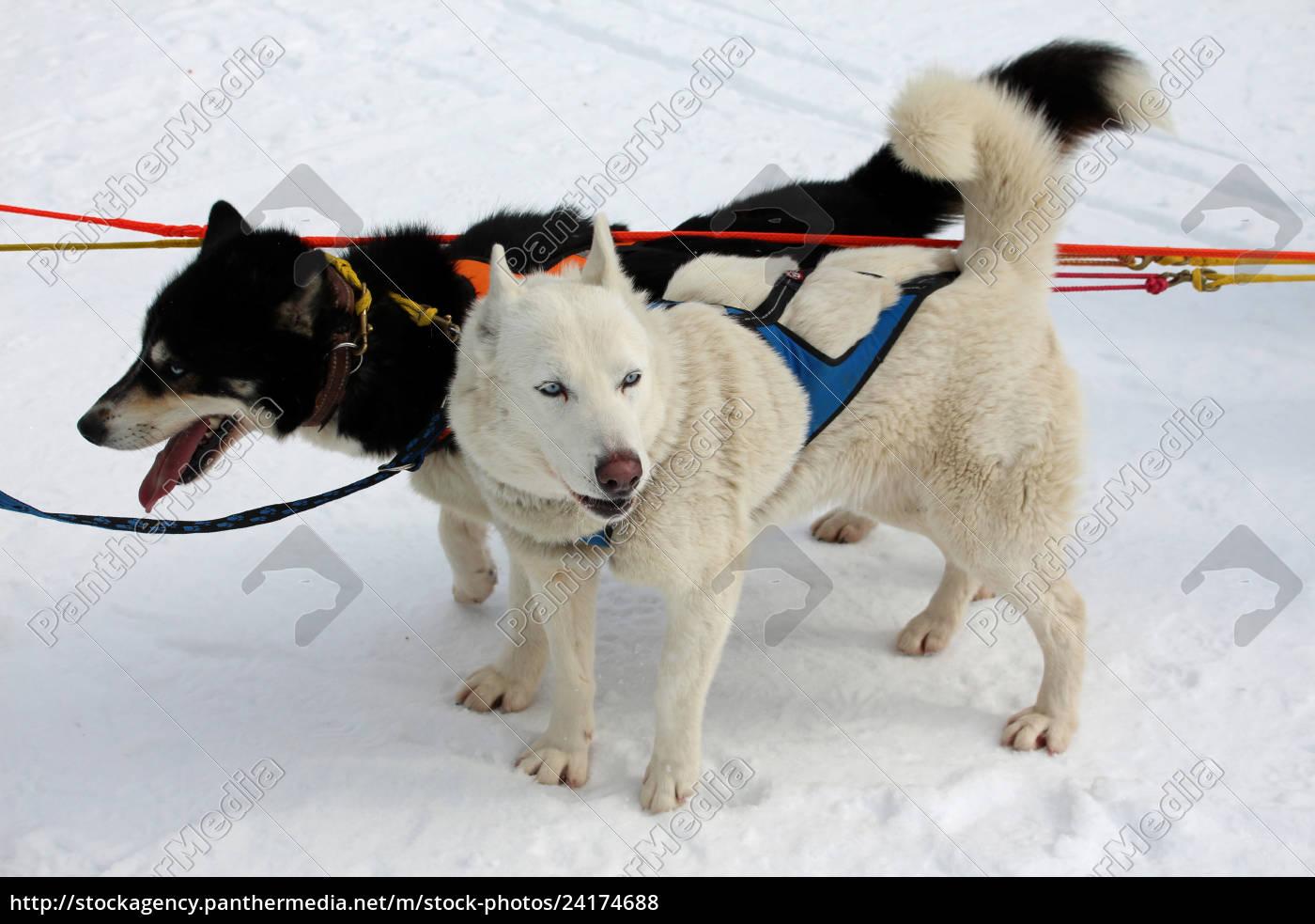 hund, , schlittenhunde, , husky, , polarhunde, , rennen, , schlittenhunderennen, - 24174688