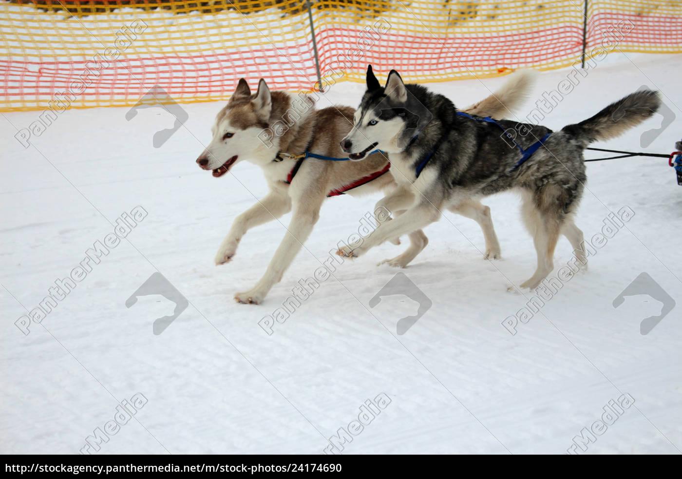 hund, , schlittenhunde, , husky, , polarhunde, , rennen, , schlittenhunderennen, - 24174690