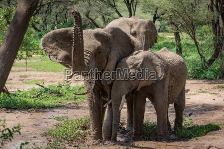 afrikanischer elefant hebt stamm neben zwei