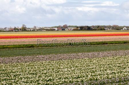 tulpen und hyazinth felder der bollenstreek