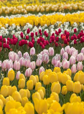 tulpenfelder im bollenstreek suedholland niederlande