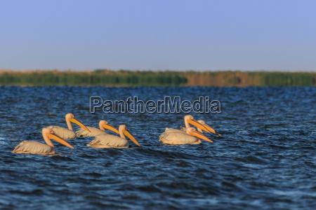 weisse pelikane im donaudelta rumaenien