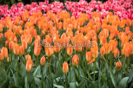 garten blume pflanze gewaechs holland tulpe