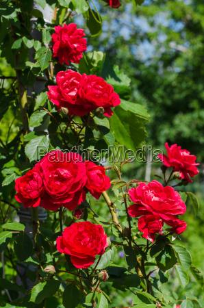 schoene rote rosen im garten an