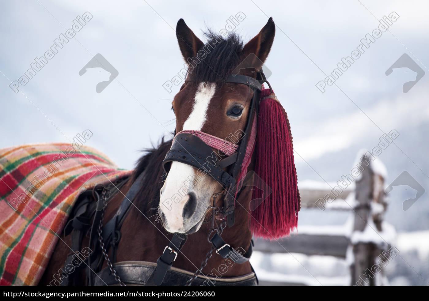 pferd, im, schnee - 24206060