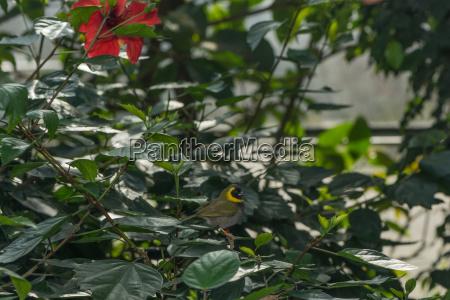 kubafink sitzt im busch