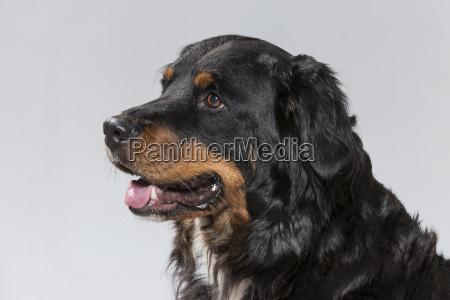 portrait eines appenzeller sennenhundes