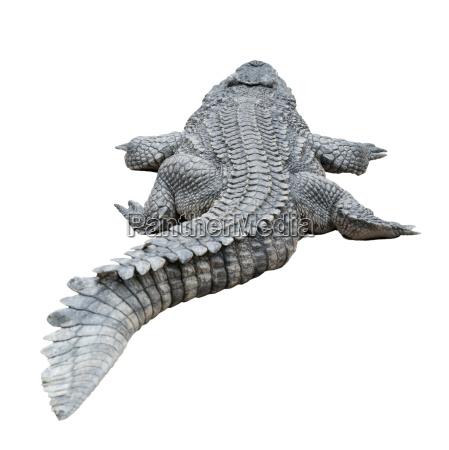 freisteller tier reptil krokodil fell abgeschieden