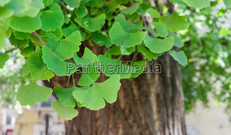 close up of an old ginkgo