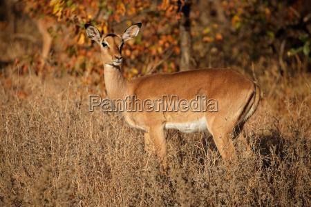impala antelope kruger national park