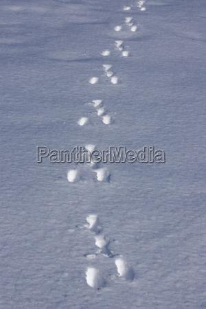spuren vom europaischen feldhasen im schnee