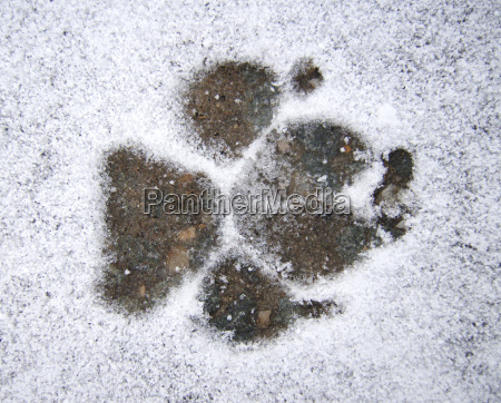 fussspur eines hundes im schnee