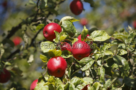 ripe apple apple tree rhon grabfeld