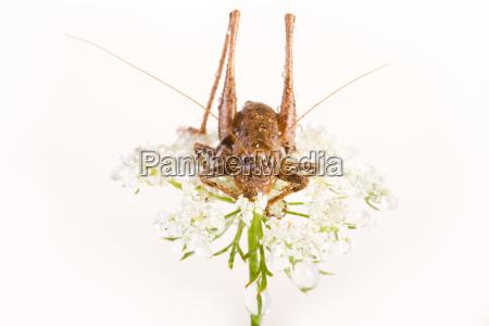 gewohnliche strauchschrecke pholidoptera griseoaptera